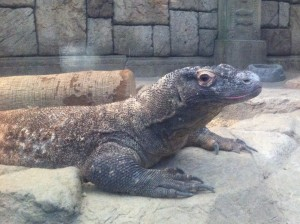 komodo dragon in Las Vegas