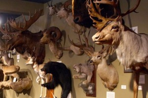 Taxidermist Art at the Buckhorn Saloon