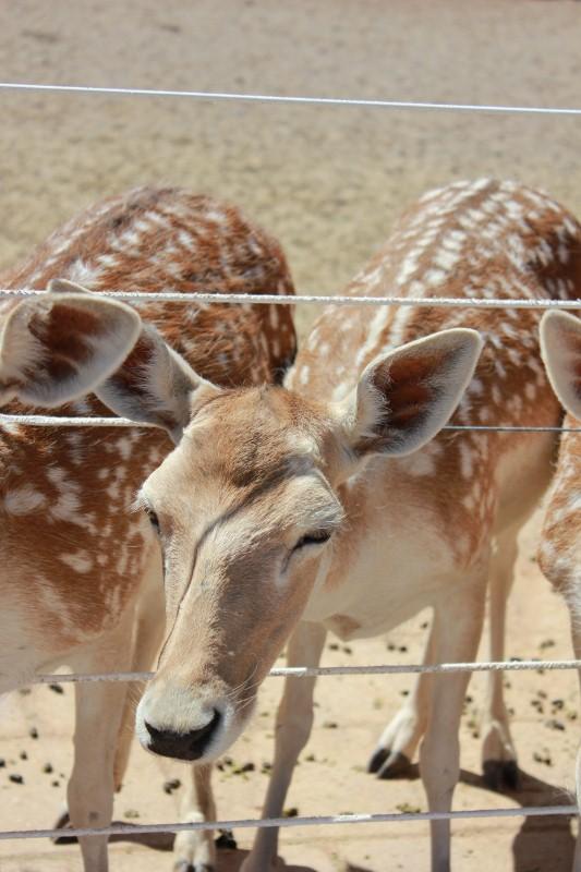 Deer at Ostrich Farm