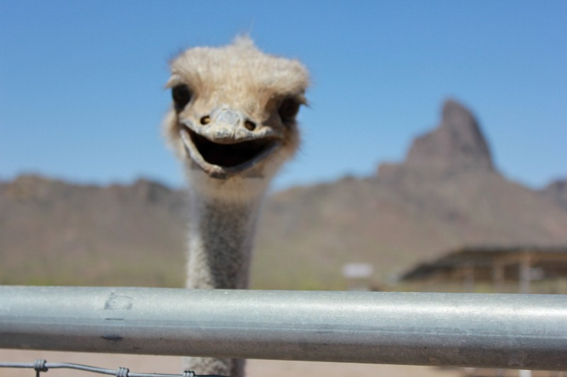 Ostrich Peeking over fence