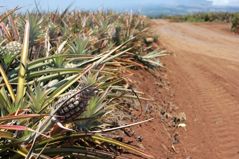 Pineapple Farm in Hali'imaile