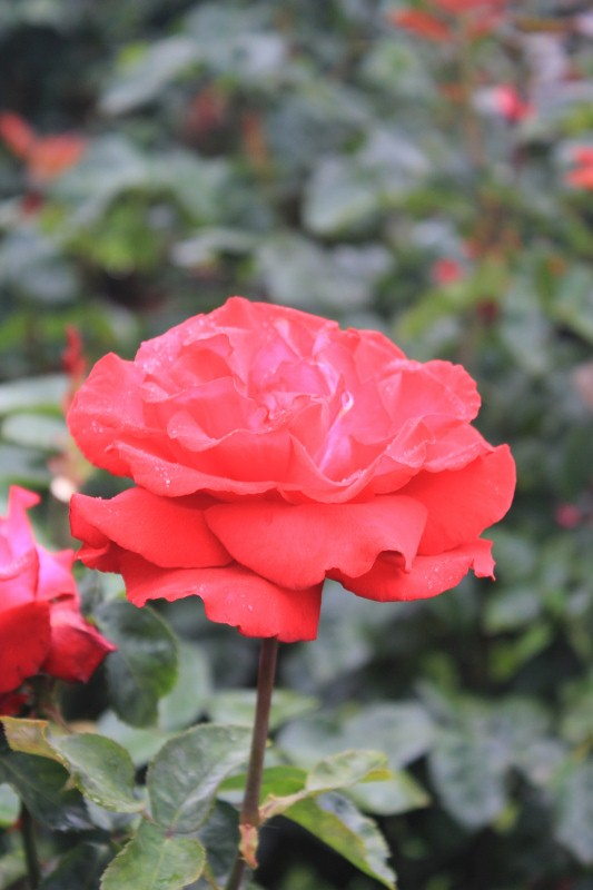 Grande Amore Rose
