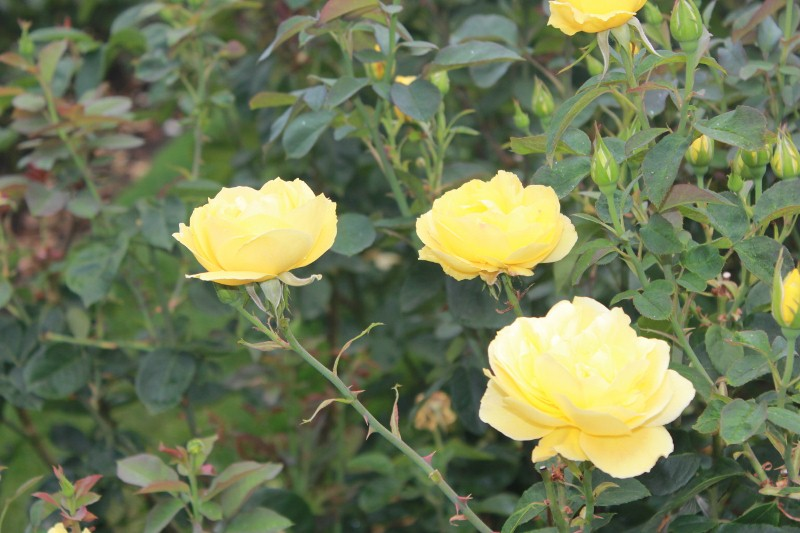 Cha Ching Rose