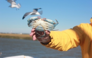 Blue Crab Caught While Shrimping