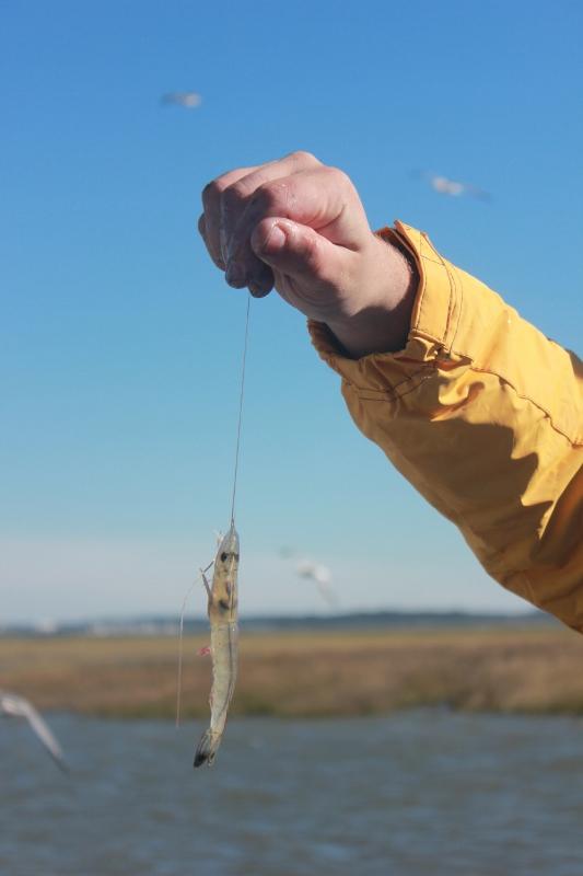 Georgia Shrimp Caught