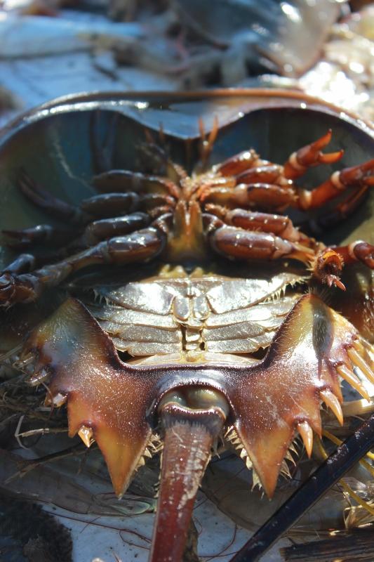 Horseshoe Crab Caught Shrimping