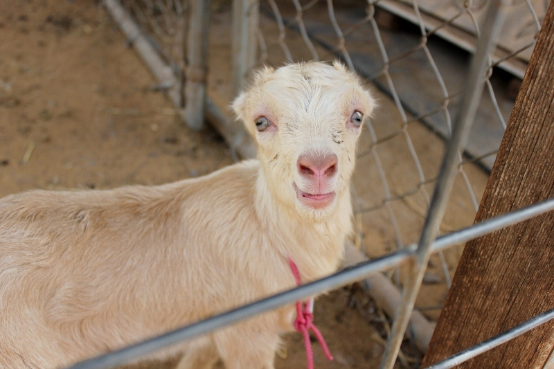 Baby Goat at Surfing Goat Dairy
