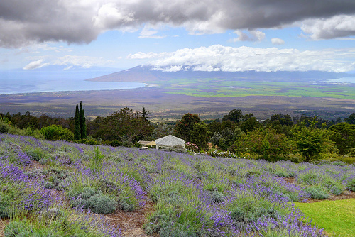 Things to do in Maui - Lavender Farm