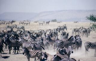 Serengeti Africa Zebra