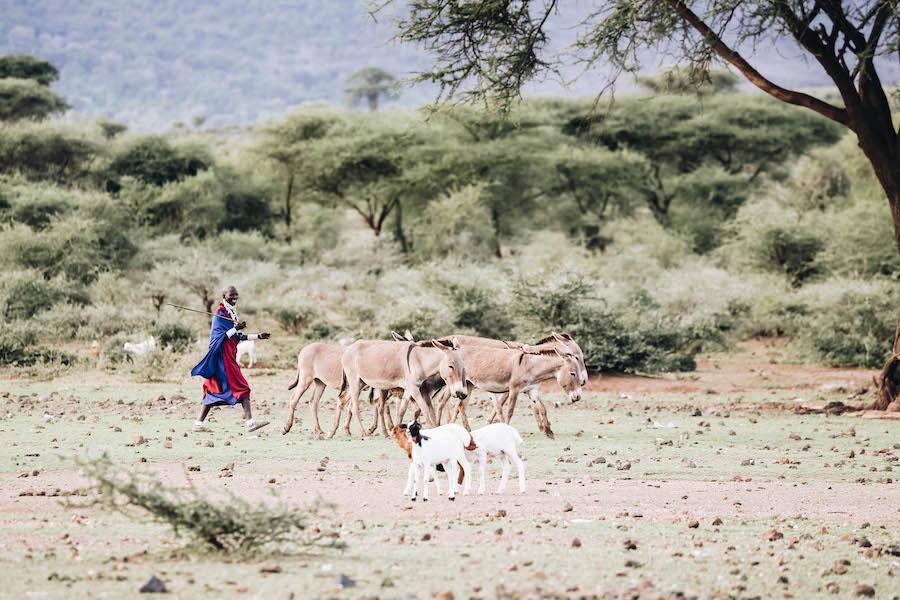 Peuple de la tribu Masaï avec leur bétail et leurs animaux
