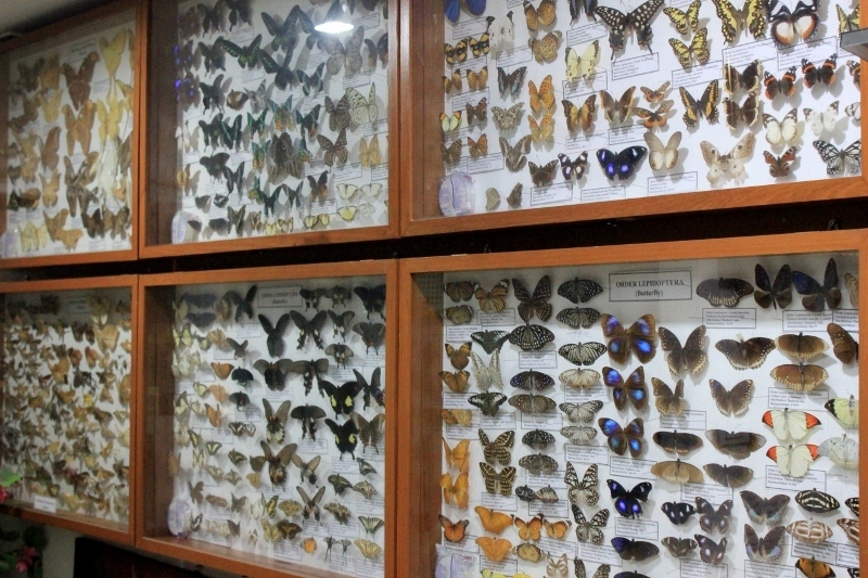 Butterfly display at the Insect Museum in Chiang Mai, Thailand