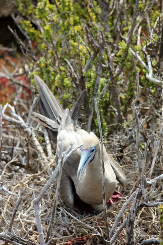 Red-Footed Booby Bird in Galapagos Islands