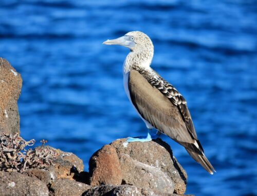See the Blue-Footed Booby Mating Dance in the Galápagos Islands