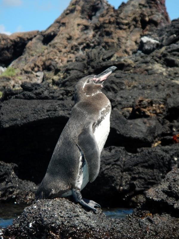Galapagos Island Penguin