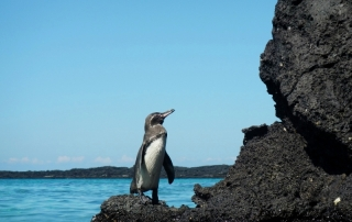 Penguins in Galapagos