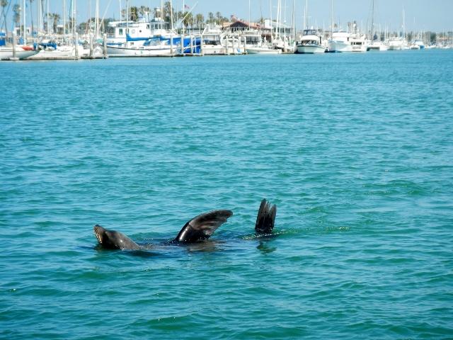 California Sea Lion in Oxnard Channel Islands