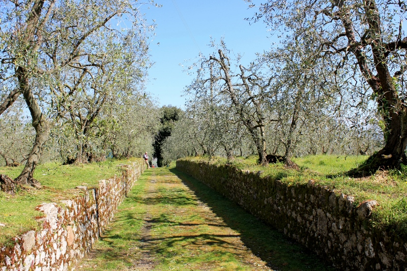 Olive Trees in Tuscany, Italy