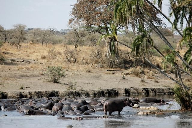 A Hippo Pool in Serengeti, Tanzania