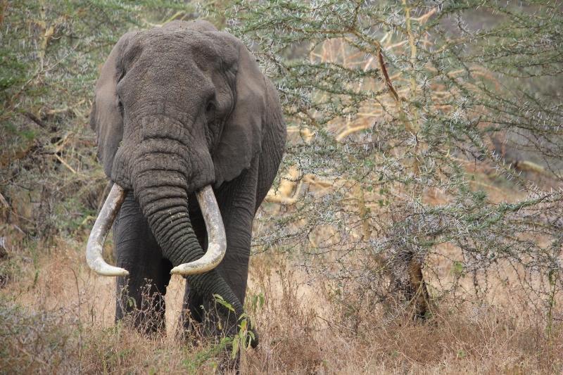 Elephant on African Safari in Tanzania