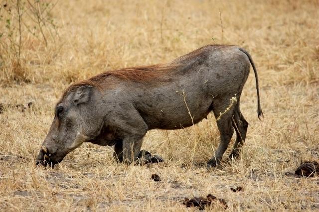 Kneeling Warthog on African Safari in Tanzania