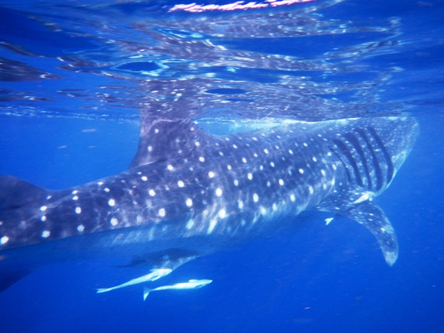 Things to do Before You Die: Swim with Whale Sharks - Cancun, Mexico