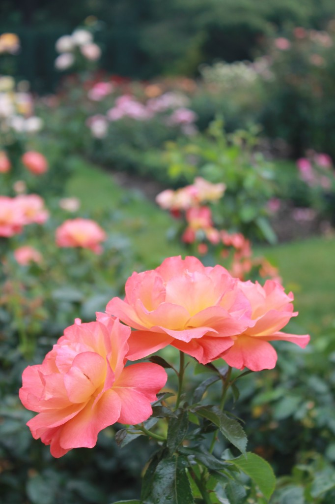 Portland, Oregon Things to do: International Rose Test Garden