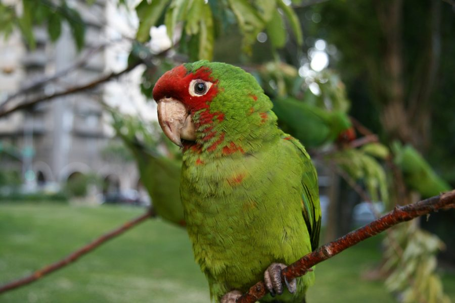 The Parrots of Telegraph Hill | San Francisco Bucket List: Best Things to Do in the Fun City of SF