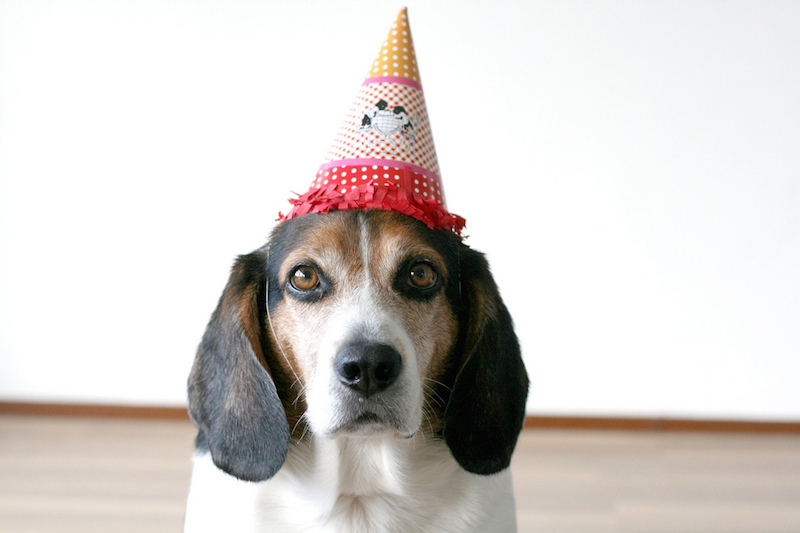 Dog in a Birthday Hat