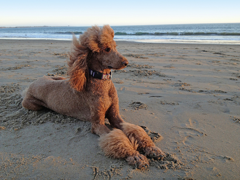 Dog Posing on the Beach