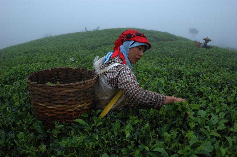 Tea Picker in Southeast Asia