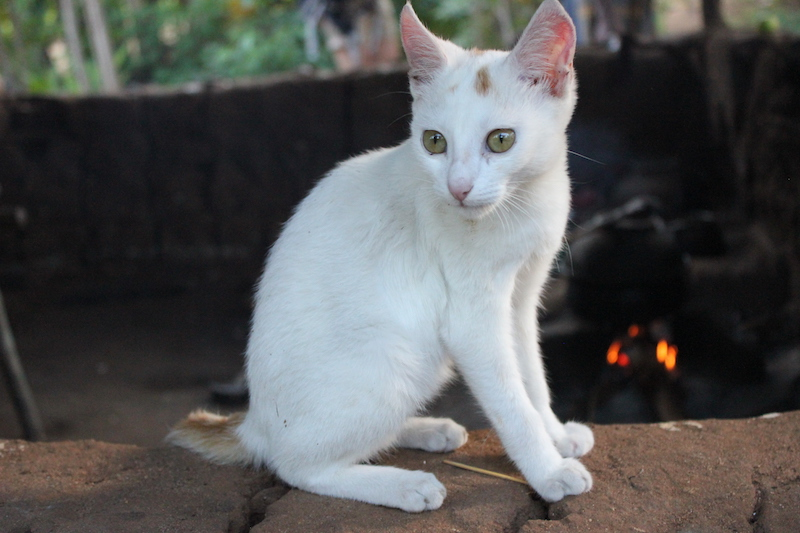 A cat on the Hiriwaduna Village Trek in Sri Lanka