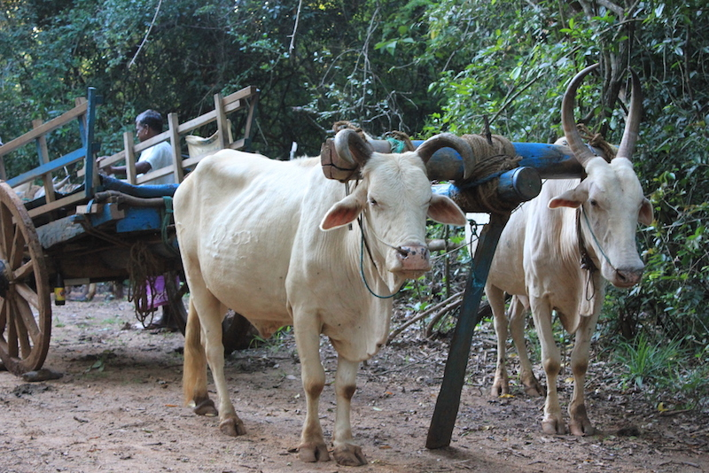Oxcart on the Hiriwaduna Village Trek in Sri Lanka