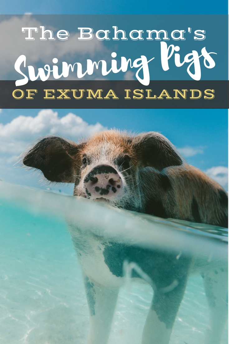Pig Beach: The Bahama's Swimming Pigs of Exuma Island