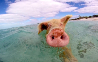 The swimming pigs of Exuma, Bahamas