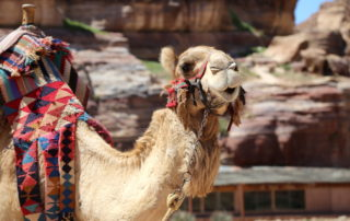 Camel at Petra Archaeological Site in Jordan