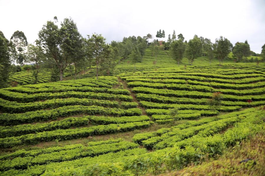 Tea Plantation Fields in Bandung, Indonesia