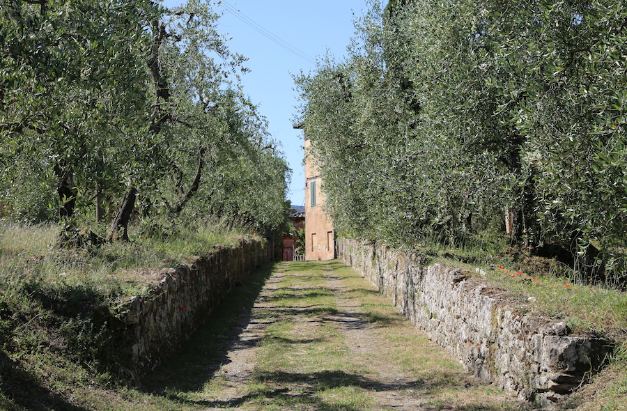 Olive Tress at the Montestigliano luxury villa estate in Northern Italy's Tuscany