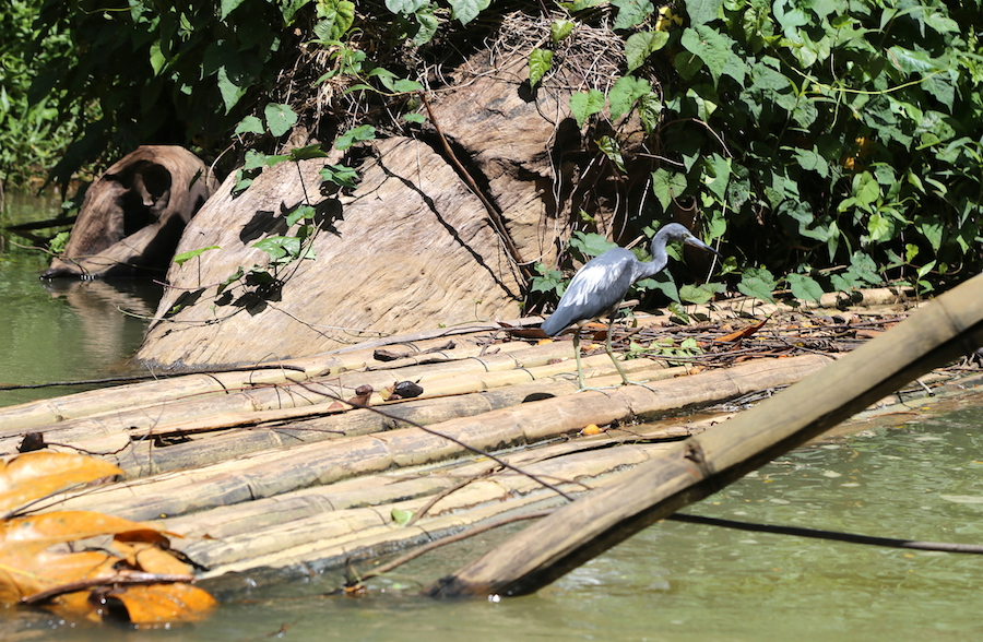 A Blue Heron while bamboo rafting the Martha Brae river in Jamaica