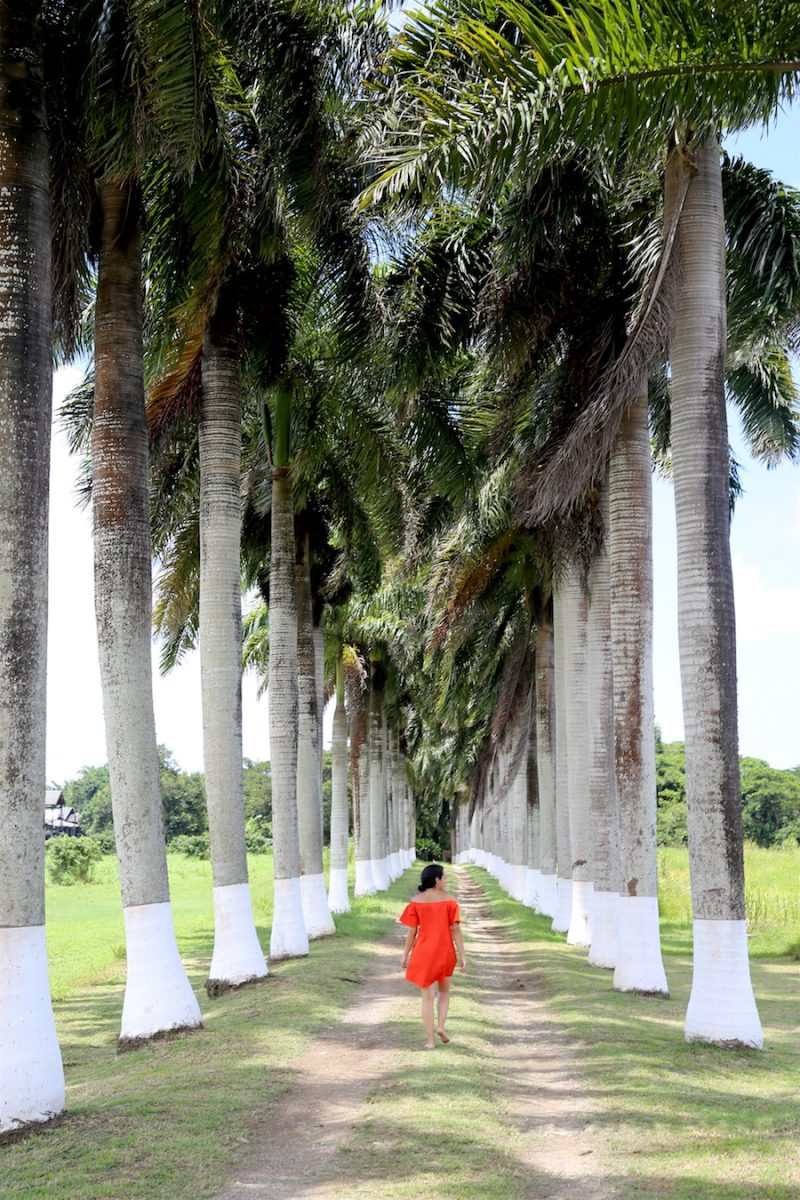 Palm Tree Entrance at Hampden Estate in Jamaica