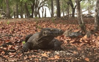 Pulau Komodo Dragon Island: An Adventurous Indonesian Tour