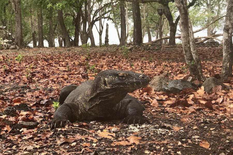 Pulau Komodo Dragon Island: An Adventurous Indonesian Tour