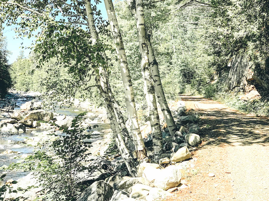 Birch Trees in Maine