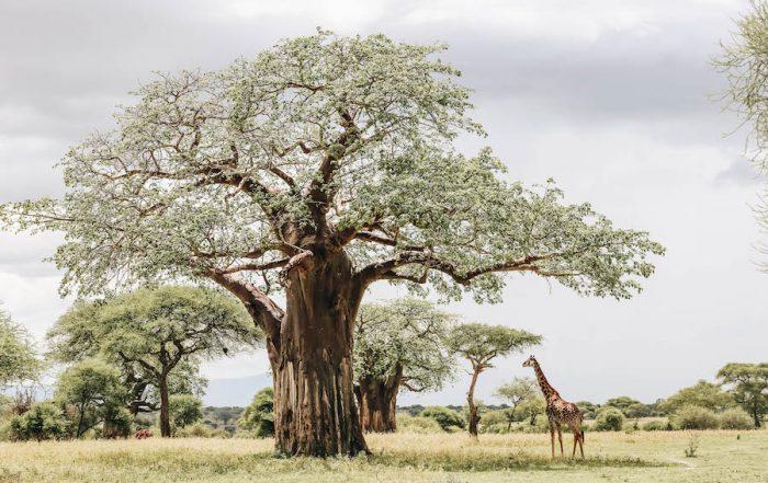 Giraffe in Tarangire National Park in Tanzania