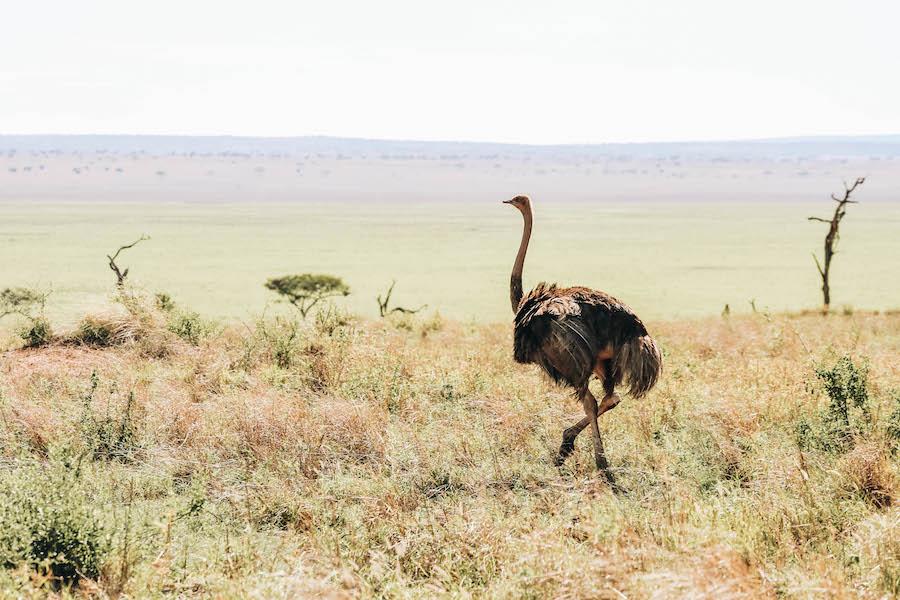 Ostrich Tarangire National Park in Tanzania