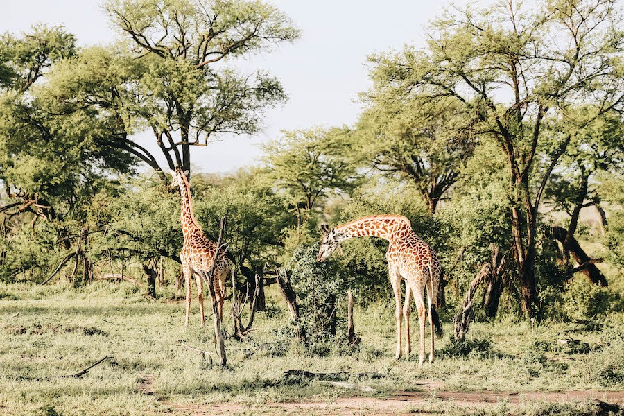On safari at the Four Seasons Lodge in Serengeti National Park